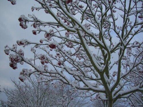 зимнее дерево рябина