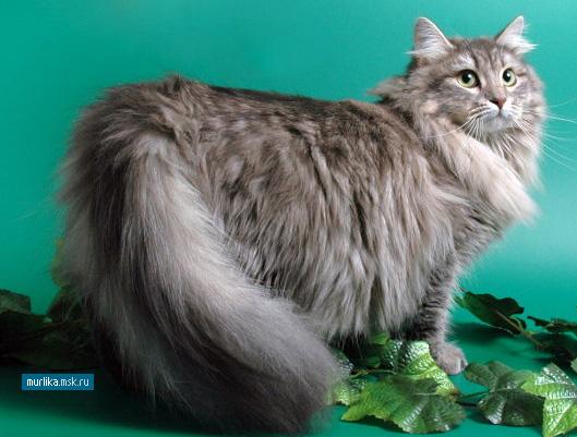 Коты сибирские-персидские