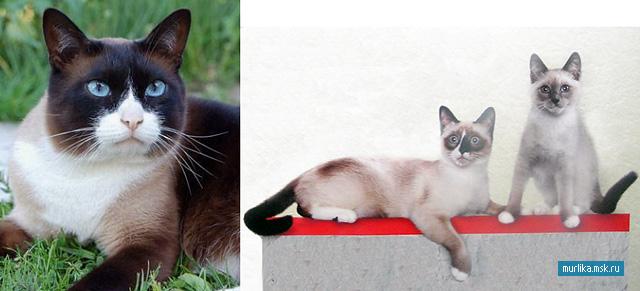 Сноу-шу, сноу-шу порода кошки