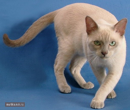 Тонкинез, тонкинез порода кошки