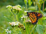 246-Monarch_Butterfly.jpg