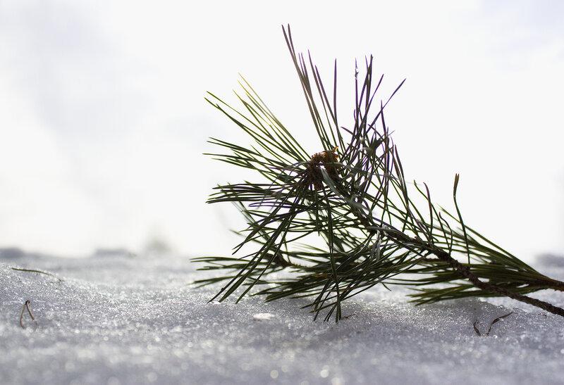 Еловая ветка и снег