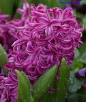 гиацинт фиолетовый