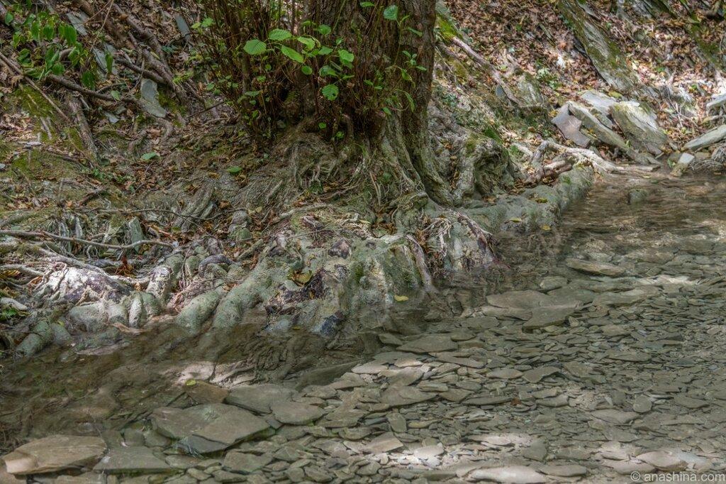 Корни дерева, река Ачибс, Кавказ