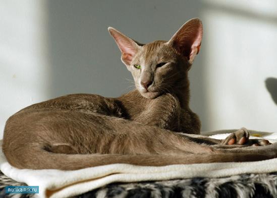 Ориентал, ориентал порода кошки