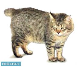 Пиксибоб, пиксибоб порода кошки