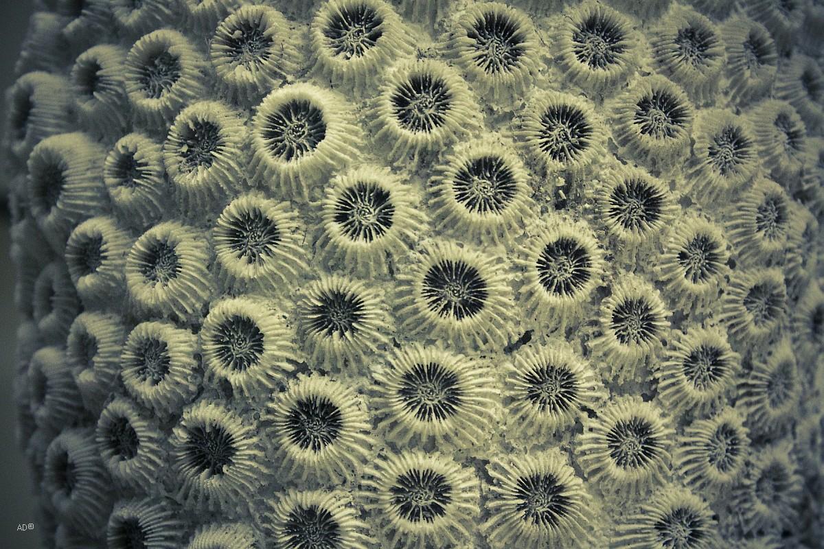 Самые распространённые коралловые полипы Склерактиния монтастрея (Montastraea)