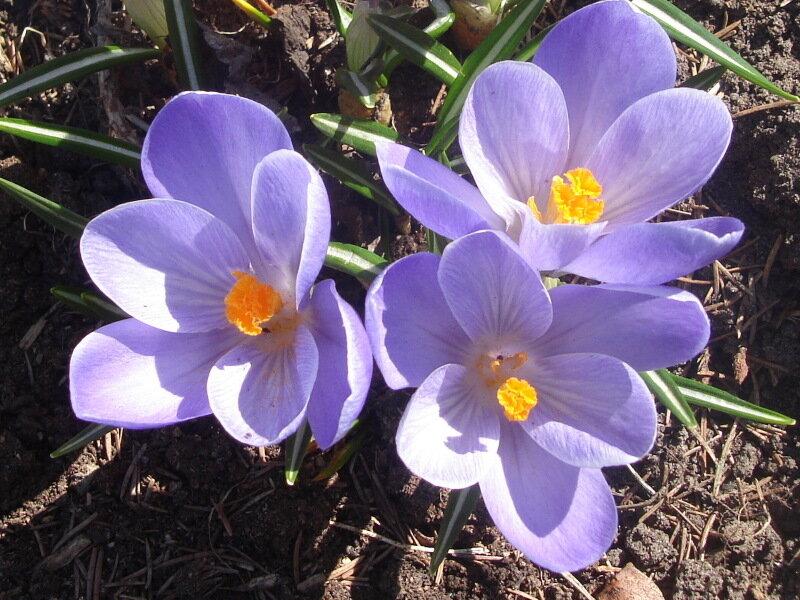 Цветы,с.Остров, подворье,крокусы