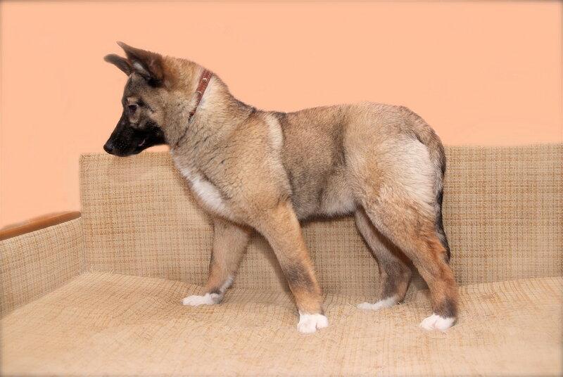 Ася, метис лайки, 4 месяца, здорова, привита, оформлен ветеринарный...