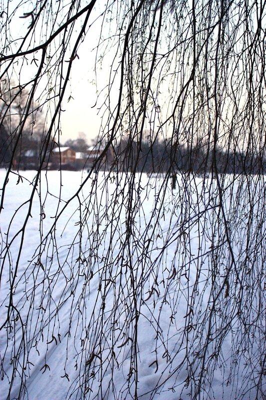 В густых ветвях березы