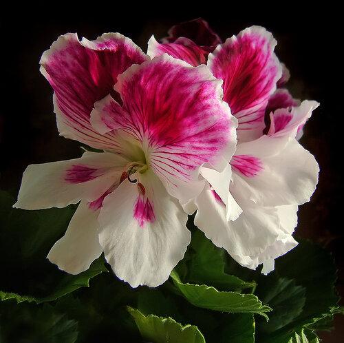 Стих о цветке герань