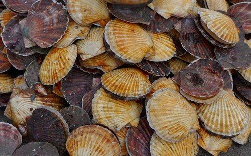СахНИРО выполнил успешный выпуск 1 млн. 10 тыс. 300 экз. молоди приморского гребешка