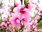 Цветение персика.jpg
