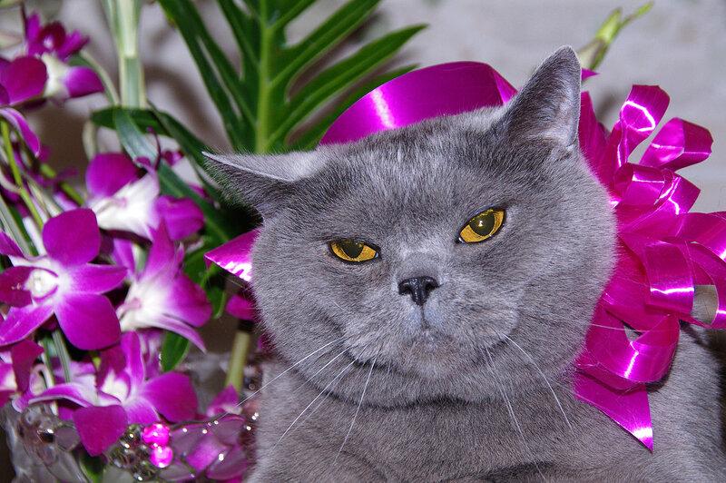Картинки, открытка с британским котом