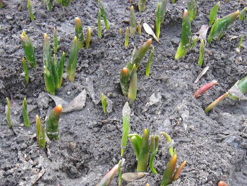 ростки тюльпанов