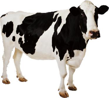 картинка на белом фоне корова