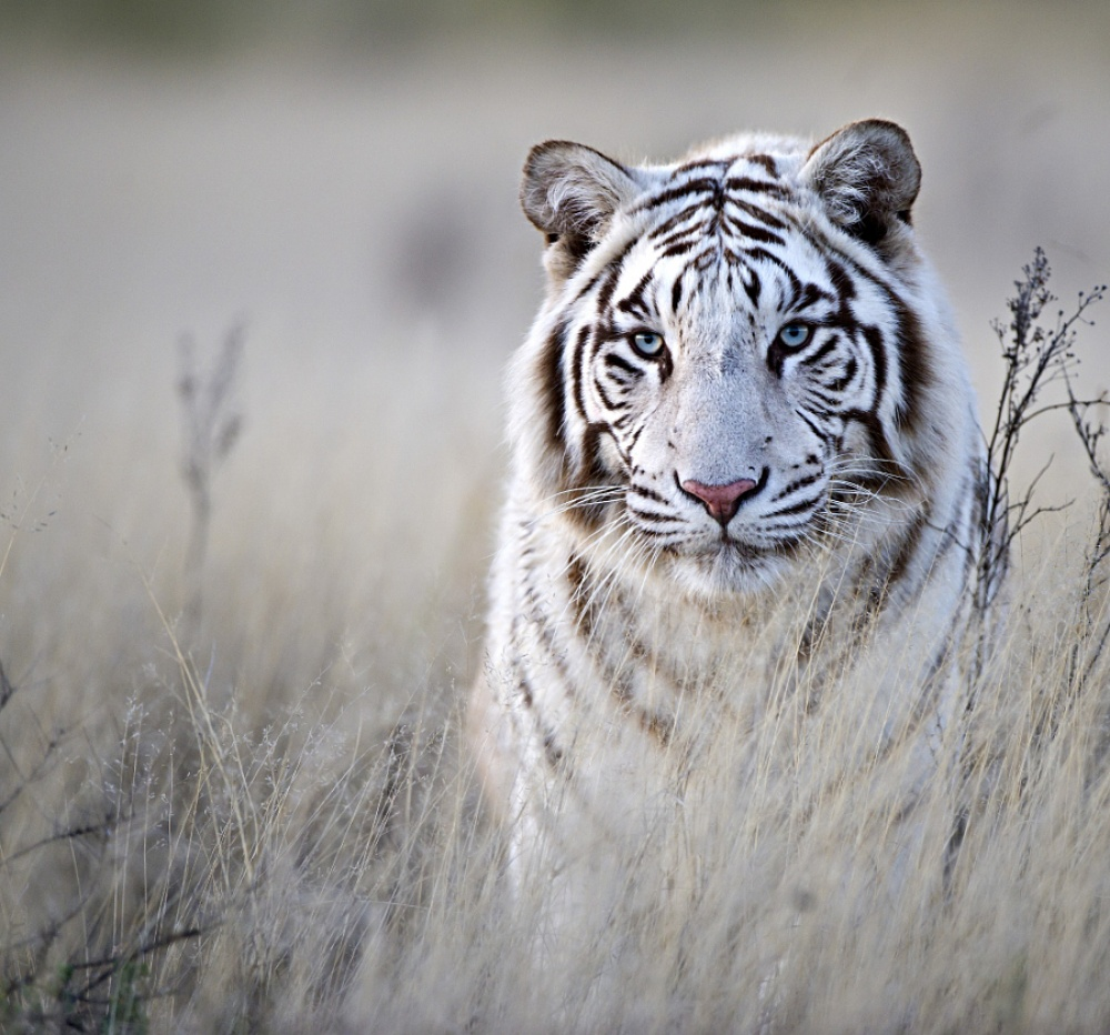 ©Bridgena Barnard Белый тигр.