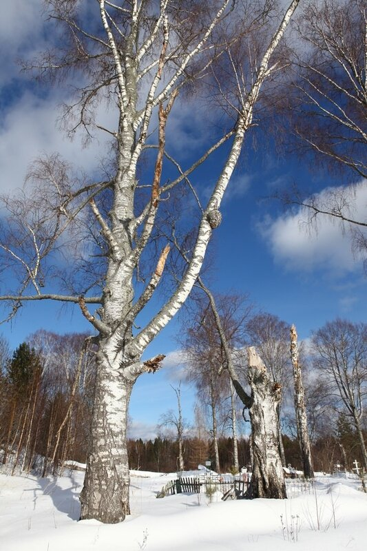 Cemetery birches