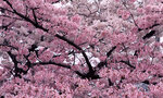 Cherry_Tree_in_Bloom.jpg