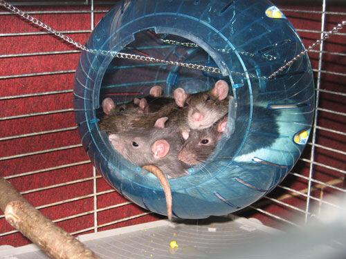 Все для крысы своими руками фото