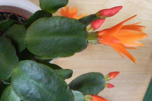 Шлюмбергера усеченная, Schlumbergera truncata