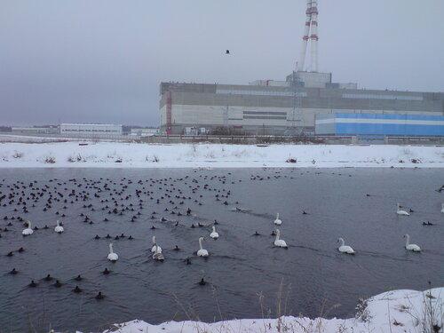 Лебеди на Игналинской АЭС