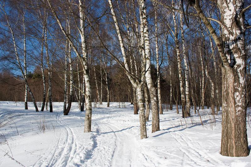 Лыжня у березовой рощи