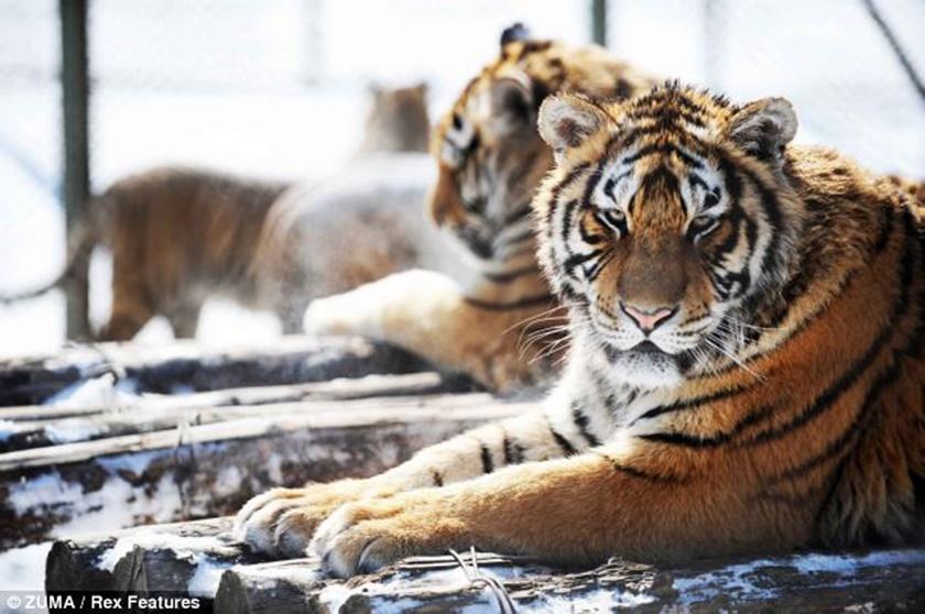 Стая амурских тигров расслабляется после сытного обеда 0 141af2 208c803e orig