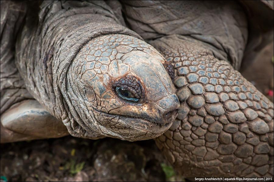 Гигантская черепаха / Giant tortoise