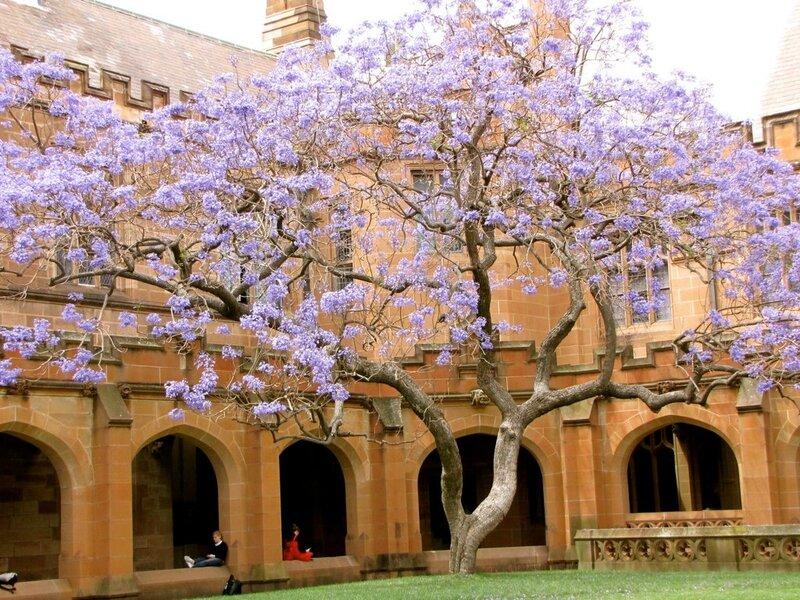 Очарование! Цветение жакаранды, фиалкового дерева!