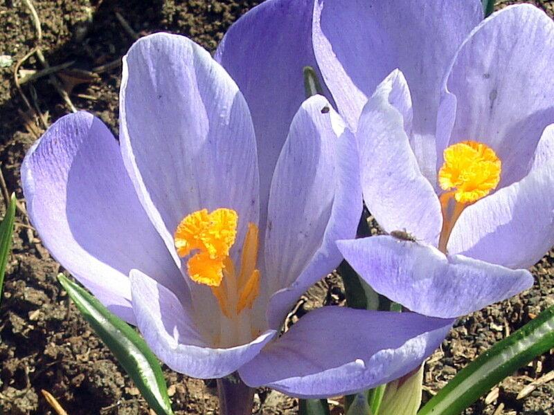 Первоцветы,с.Остров,подворье,крокусы