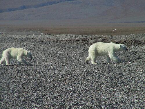 белые медведи на острове Врангеля