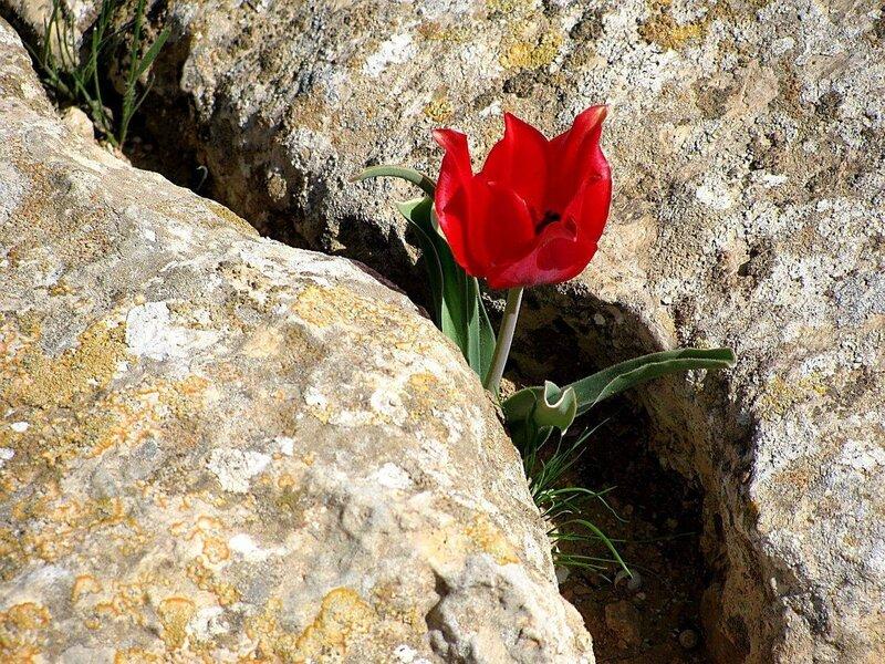 это пустынный тюльпан, в расщелинах, среди камней пустыни весной распускаются дикие тюльпаны. если попытаться...