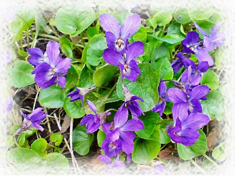 Цветут в тени лесной прелестные фиалки...