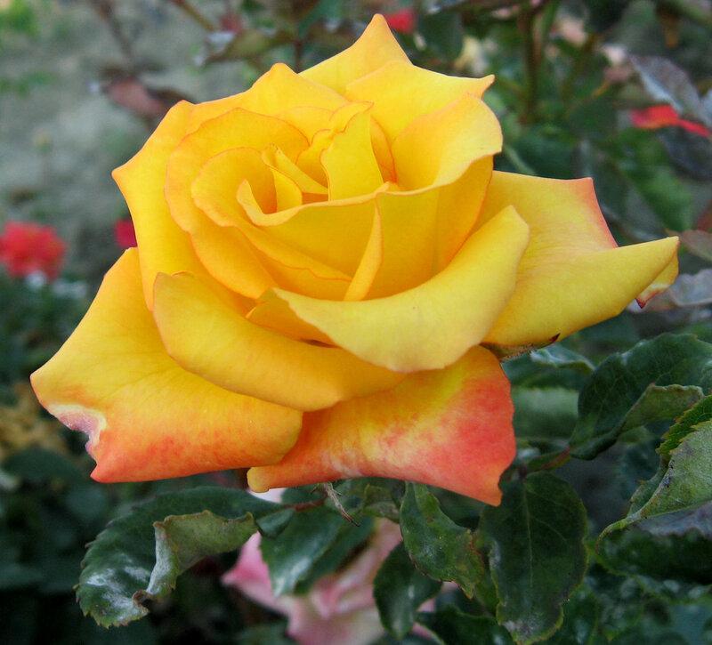Восточная любовь Желтая роза
