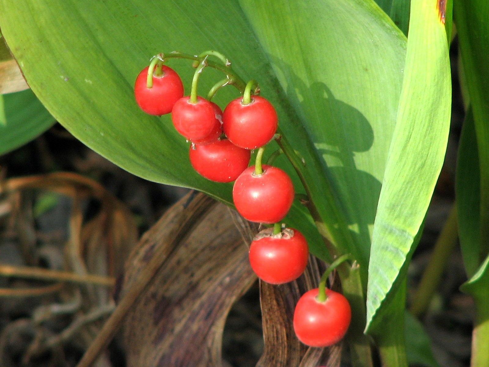 ягоды ландыша