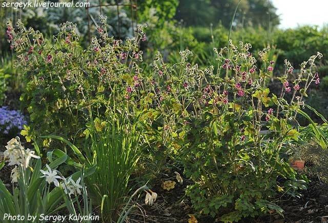 Geranium phaeum Samobor (13).JPG