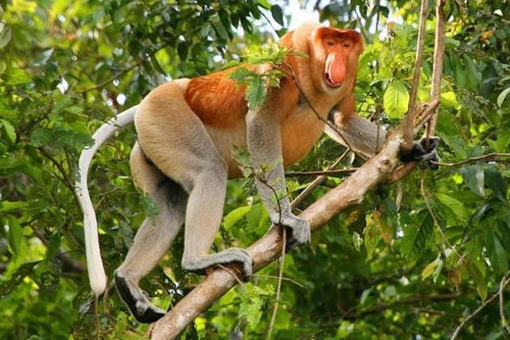 Этот странный вид обезьян, известный своим впечатляющим носом, встречается только на острове Бор