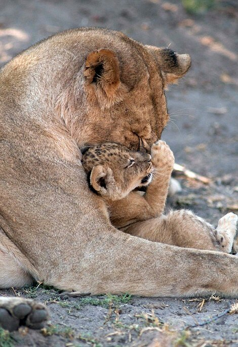 Львица со своим детёнышем.