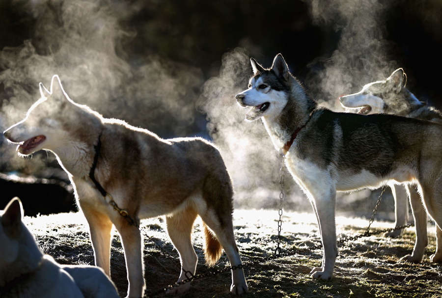 Husky dogs wait for preparations to get underway for the 28th annual Aviemore Husky Sled Dog Rally o