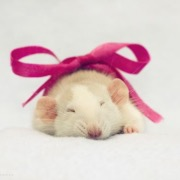 Крыса в подарок