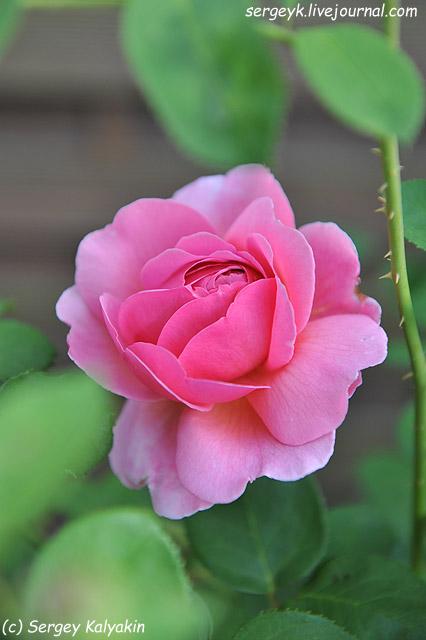 Rosa Princess Alexandra of Kent (3).JPG