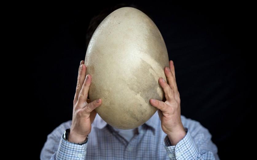 Яйцо эпиорниса (слоновой птицы), которое, согласно прогнозам, будет продано на аукционе Summers Plac