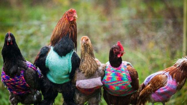 Свитера для куриц— замечательная идобрая идея (3 фото)