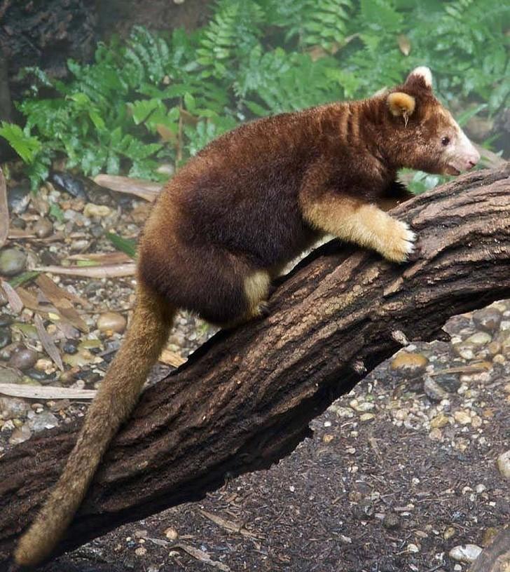 Эти сумчатые живут в тропических лесах Новой Гвинеи и австралийского штата Квинсленд и, как поня