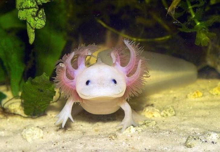 Также известные как мексиканская саламандра, эти маленькие амфибии обитают в озерах Центральной