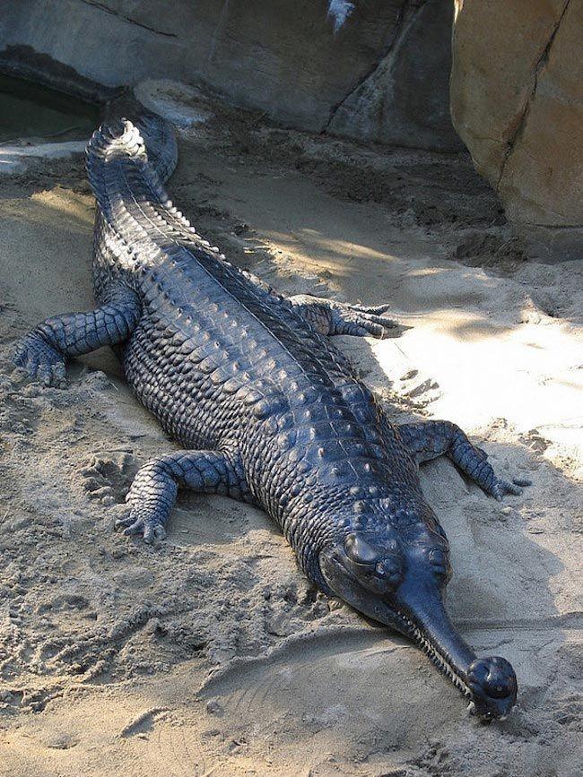 Гавиал является уникальным животным среди современных крокодилов. Хотя миллионы лет назад сущест