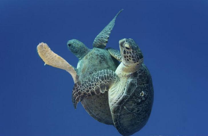 Оказывается, черепахи не такие уж и милашки в брачный период. Самцы сходятся в жестоком бое за внима