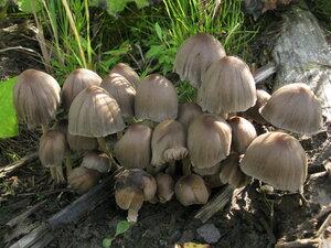 Навозник заостренный (Coprinopsis acuminata)