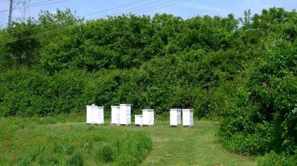 Распространение болезни среди пчел спровоцировано человеком— Ученые Великобритании